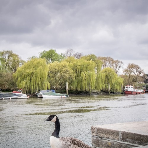 20160416_Richmond-upon-Thames_Thames-Path_Canada-goose-walk