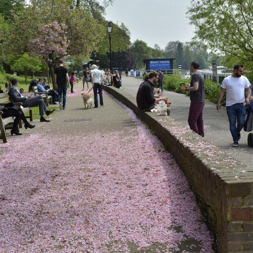 2016-05-12-Richmond_Thames-Path_towards-Petersham_Carpet-of-Spring-Blossom_-People