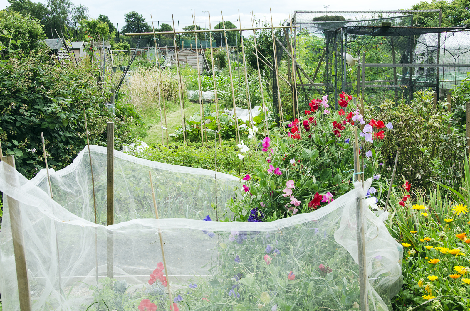 2016-07-13-Wandsworth_Beatrix-Potter-Allotments_Summer_Flora