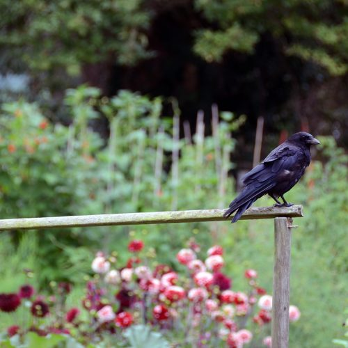 2016-08-19-Richmond_Hertford-Avenue_Allotments_Summer_Fauna_Crow