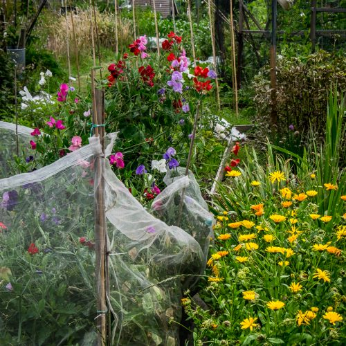 20160713_Wandsworth_Beatrix-Potter-Allotments_Blooming