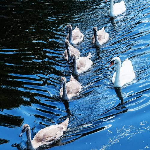 5790-swan-family-on-grand-union