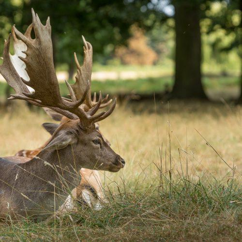 Deer_in_the_Park
