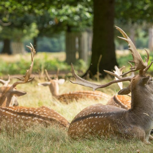 Deer_in_the_Park