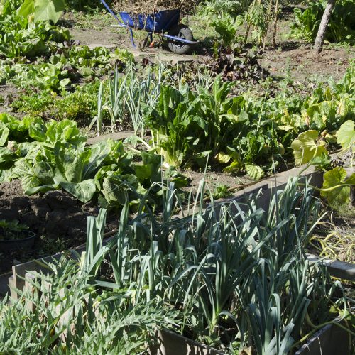 2016-09-28-Barnet_Autumn_Fursby-Avenue-Allotments_Flora-A-working-veggy-patch