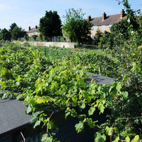 20161004_Barnet_Porters-Way-Allotments_Grapevines