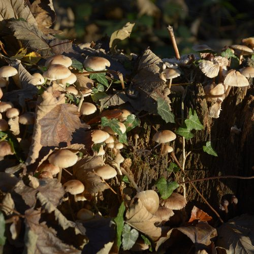 2016-11-11-Bromley_Autumn_Flora_Major-Path-Mushrooms-along-the-London-Loop