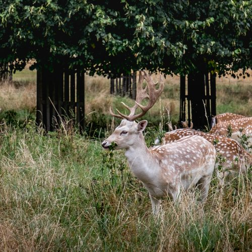 20160831-DSCF6207_Richmond_Hampton-Court-Palace_Pale-Dainty-Deer
