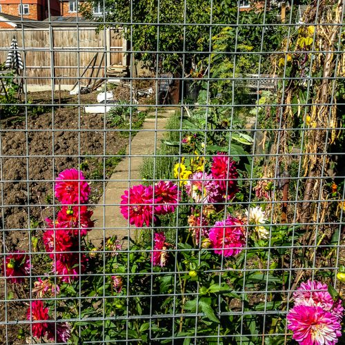 20160928_Barnet_Walmington-Fold-Allotments_Blooms