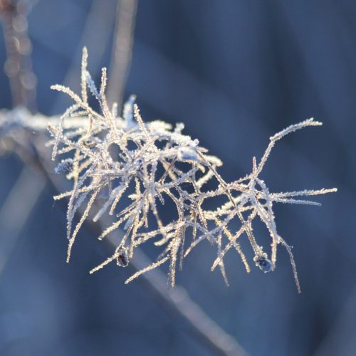 Frosty-twigs
