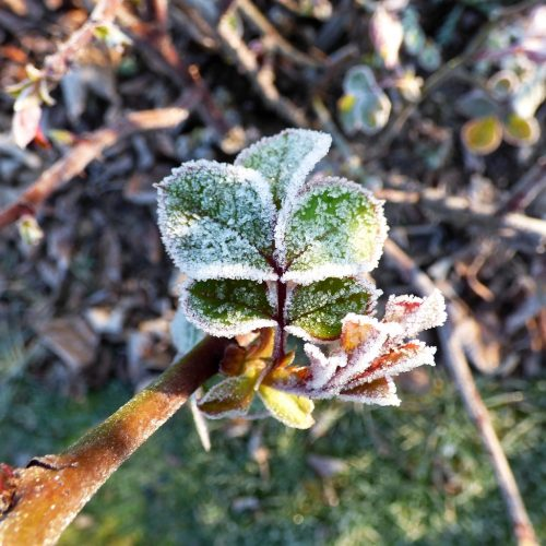 20170121_Barking-and-Dagenham_Eastbury-Manor_Frosted-buds