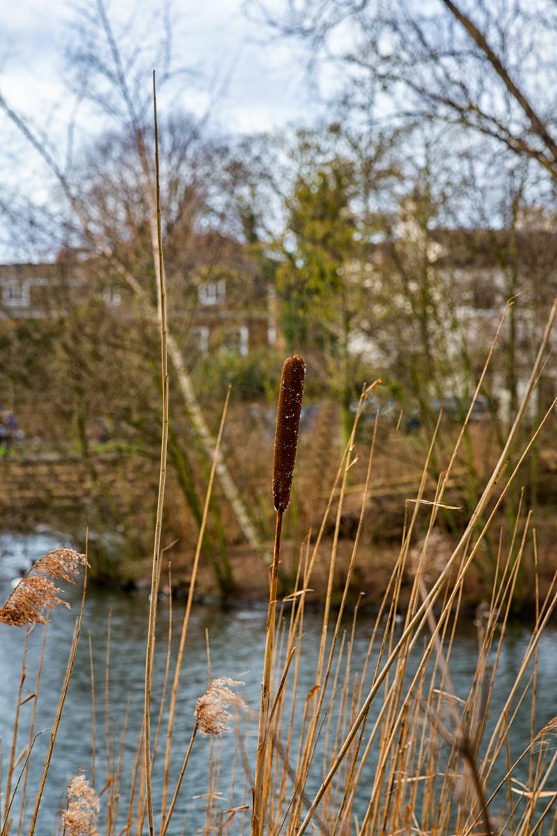 Pond-Reed