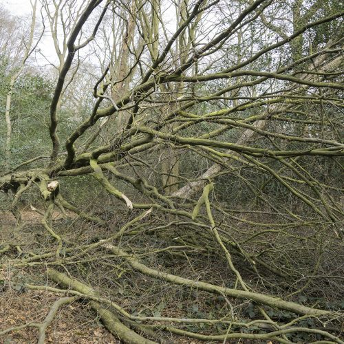 2017-03-01-Enfield-Whitewebbs-Wood_Winter_Flora-Storm-Doris-2
