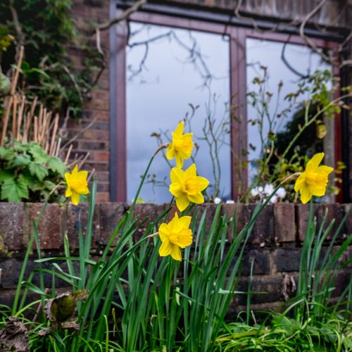 20170308_Hounslow_Strand-On-The-Green_Narcissus-has-sprung