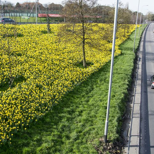 20170313_Barnet_North-Circular-Road-_Daffodils-along-N-Circular-Road