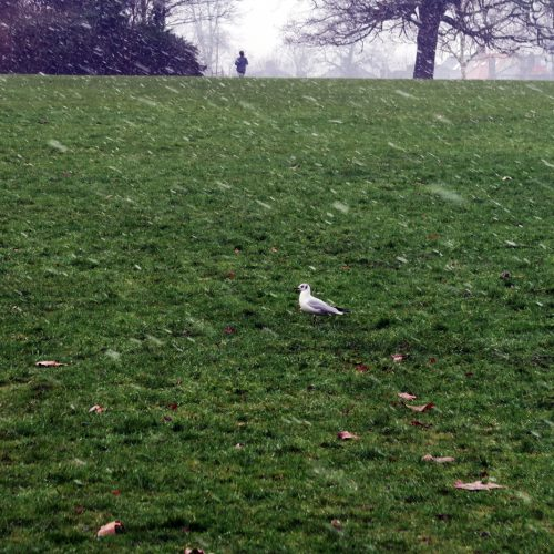 33-Seagull-in-the-snow-Peckham-Rye-Park-11_2_17