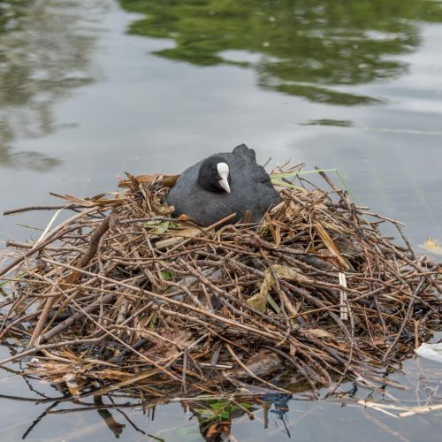 170417_Westminster_HydePark_NestingCoot