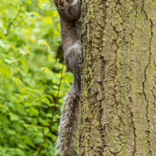 170417_Westminster_HydePark_SquirrelGaze