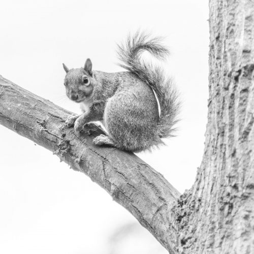 170417_Westminster_HydePark_SquirrelMono