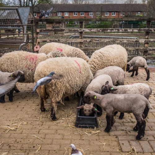 20160413_Southwark_Surrey-Docks-Farm_Sheep-Pidgeons