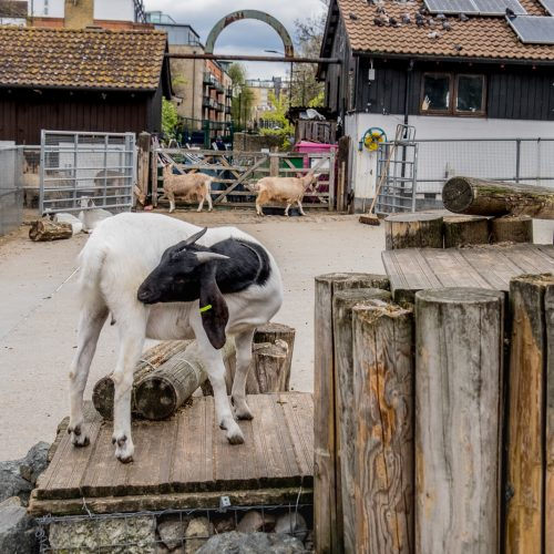 20160425_Southwark_Surrey-Docks-Farm_Goats-at-play