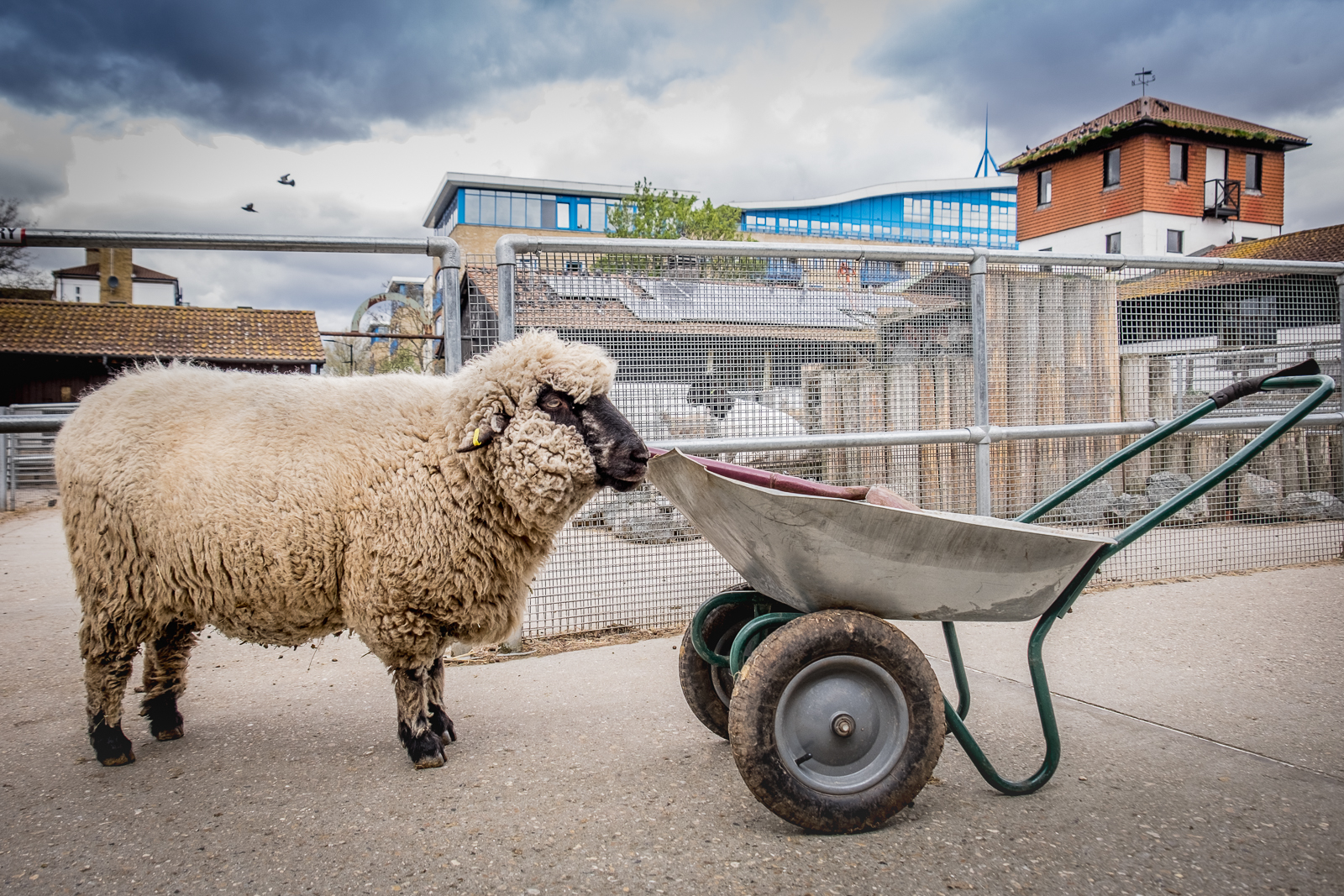 20160425_Southwark_Surrey-Docks-Farm_Sheep-At-Work