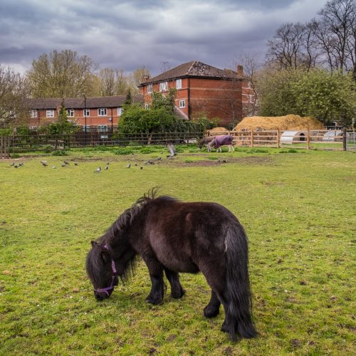 20160425_Southwark_Surrey-Docks-Farm_Shetland-Black-Beauty