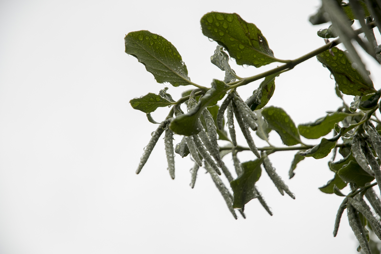 20161212_Kensington-and-Chelsea_Brompton-Cenentary_Flora_Winter_Dripping-bush