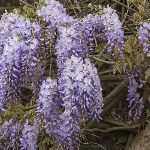 2017-04-17-Kensington-and-Chelsea_Spring_Flora_Holland-Park-Wysteria-2