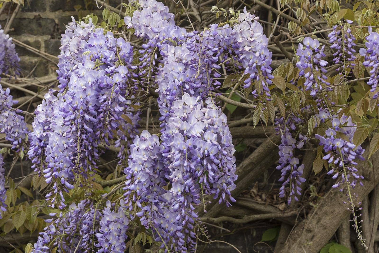 2017-04-17-Kensington-and-Chelsea_Spring_Flora_Holland-Park-Wysteria-2
