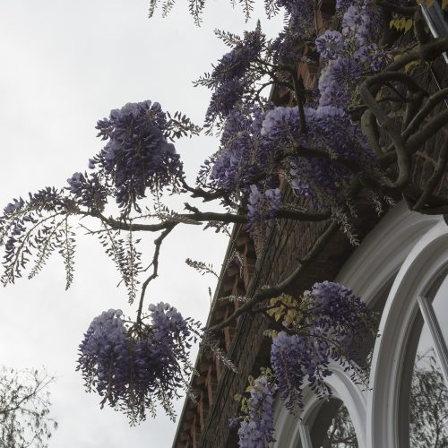 2017-04-17-Kensington-and-Chelsea_Spring_Flora_Holland-Park-Wysteria