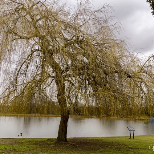 20170301_Enfield_Forty-Hall_Beautiful-Tree-the-Pond