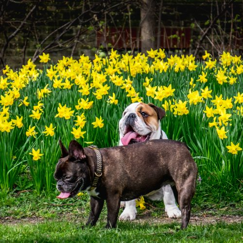 20170311_Tower-Hamlets_Ropemakers-Field_Daffodils-are-for-dogs-too