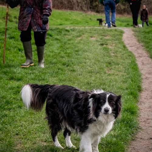 20170323_Croydon_Riddlesdown_Beautiful-Sheepdog