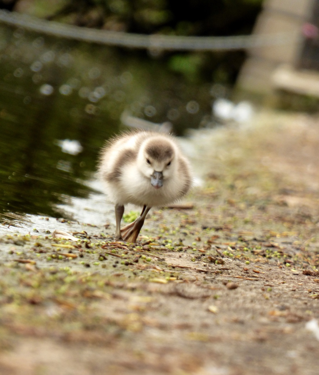 20170407_Westminster_Hyde-Park_Chick-on-the-run