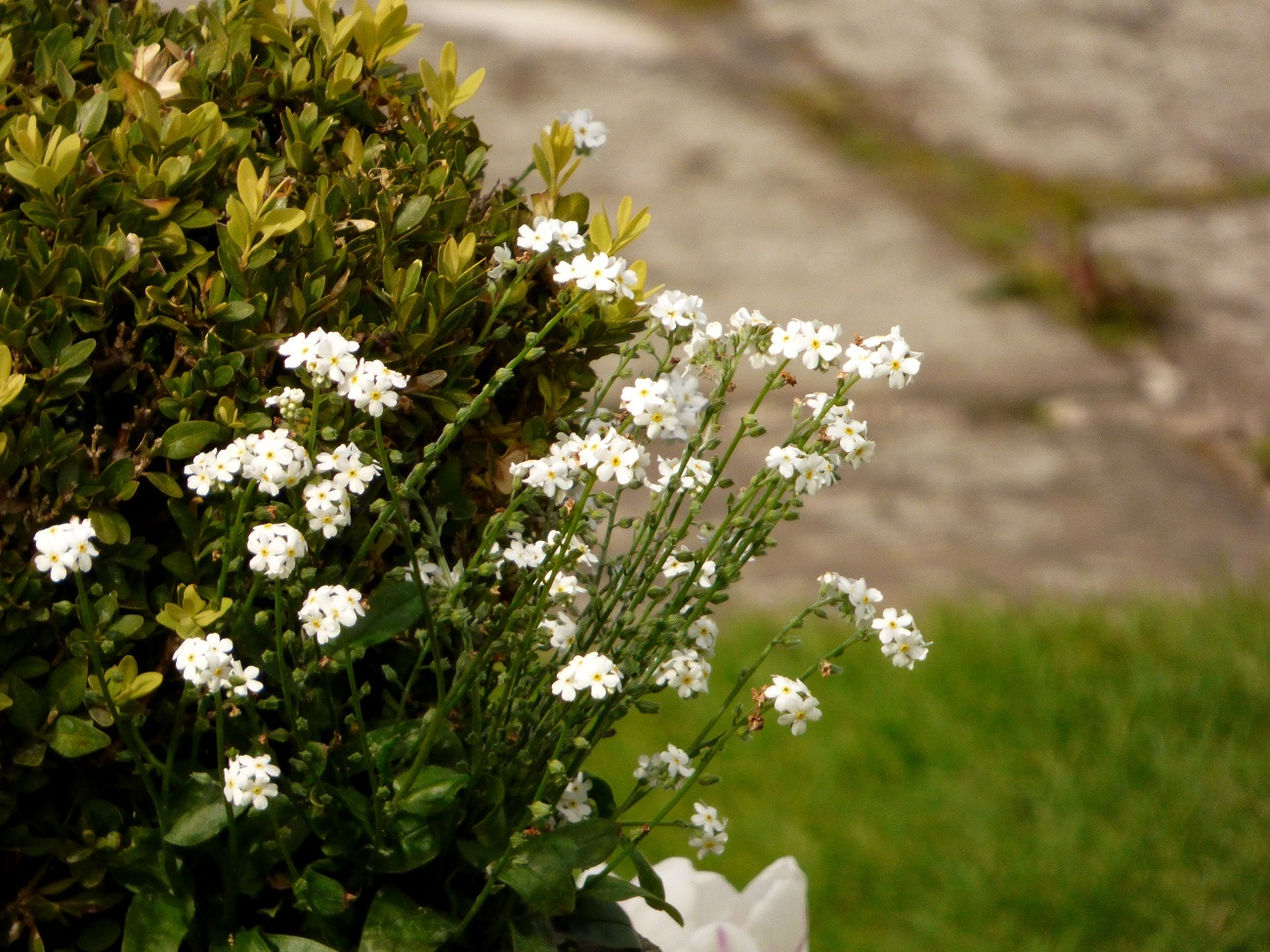 20170407_Westminster_Kensington-Palace-Memorial-Garden_Flowers-for-a-princess