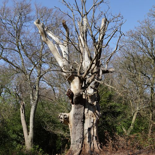 20170408_Bromley_West-Wickham-Common_One-of-the-ancients