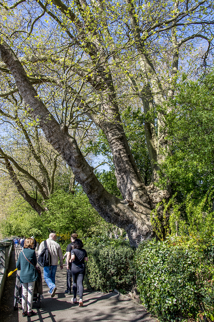 20170409_Hammersmith-and-Fulham_Bishops-Park-The-River-Walk_Plane-tree-there-since-1893