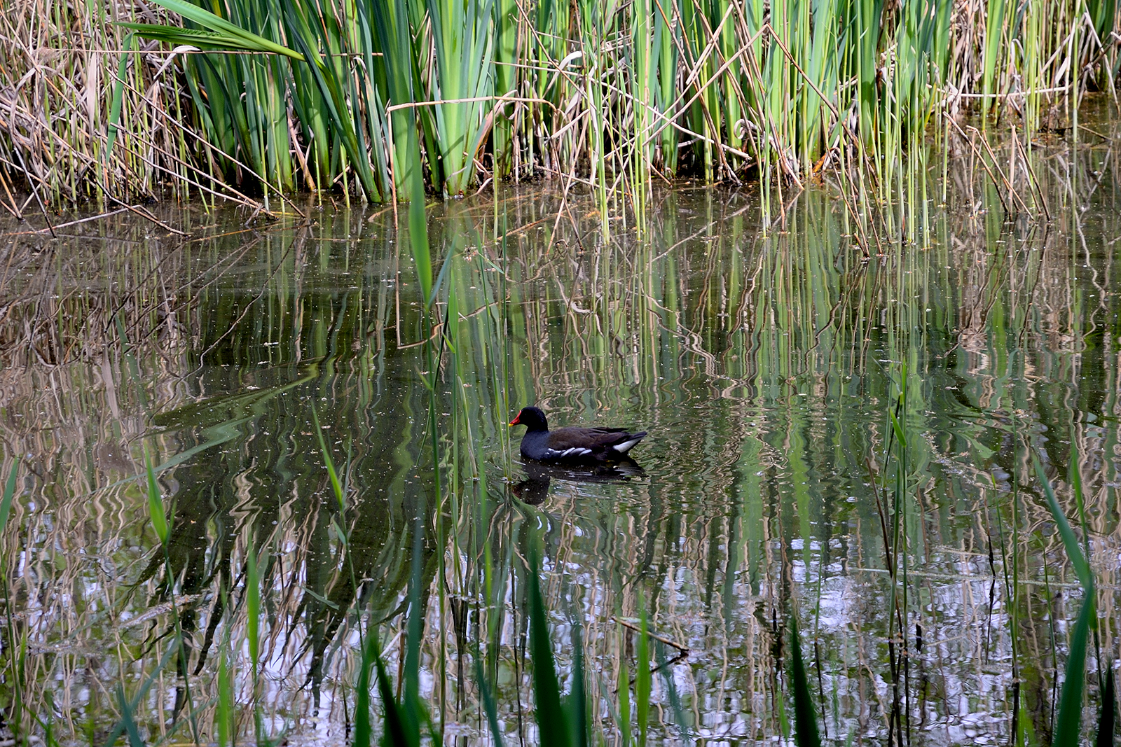20170415_Camden_Camley-Street_Pond-with-moorhen