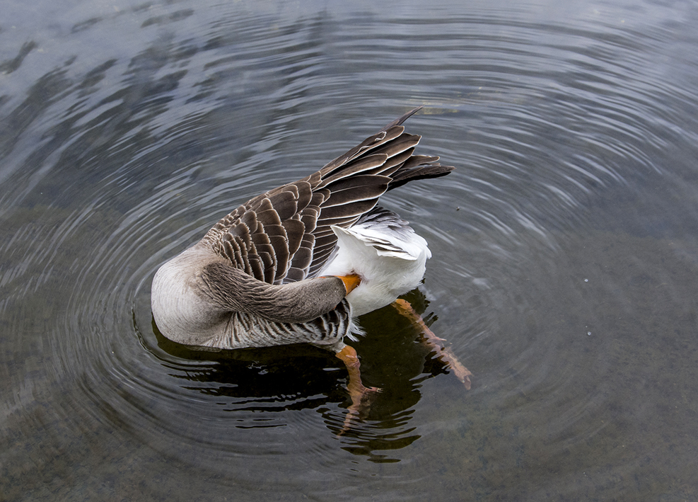 20170417_Westminster_-Hyde-Park_Grooming-goose