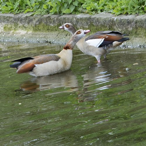 20170417_Westminster_-St-Jamess-Park-_Two-Egyptian-geese-flirting