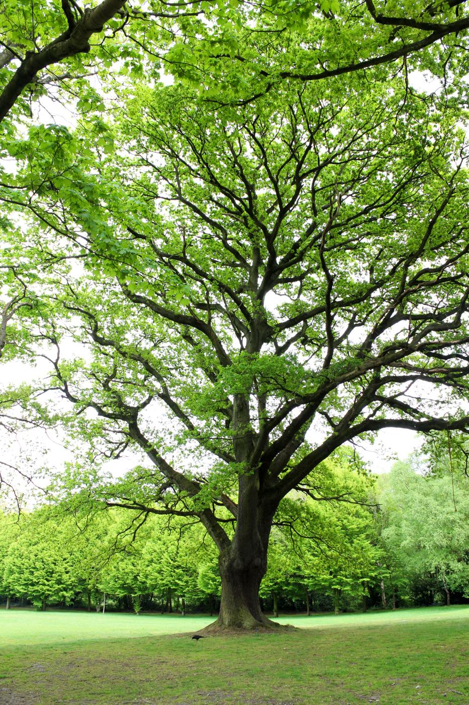 Beckenham Park Tree