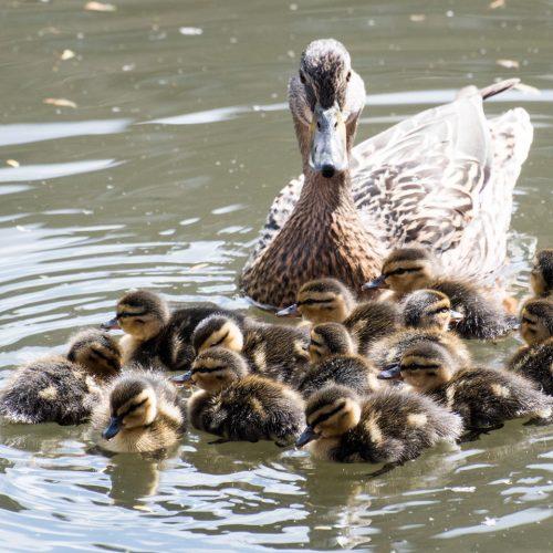 Thirtenn-Ducklings-at-Camden-Lock