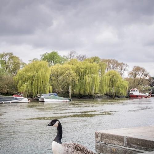 20160416_Richmond-upon-Thames_Thames-Path_Canada-goose-walk