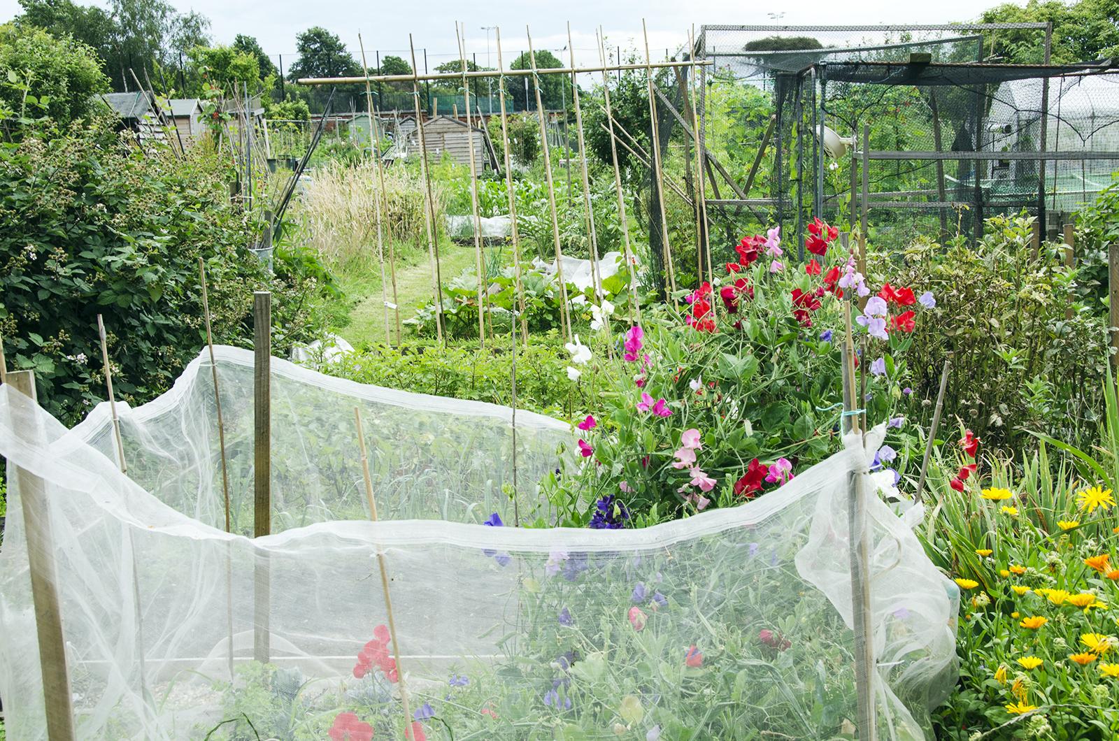 2016-07-13-Wandsworth_Beatrix-Potter-Allotments_Summer_Flora