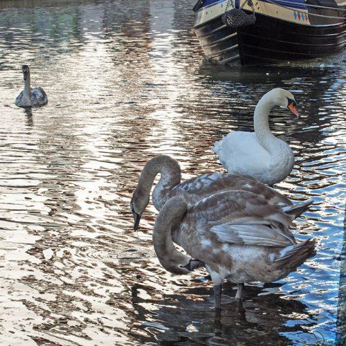 2016-10-18-Camden_Regents-Canal_Fauna_Autumn-Swan-Famile-Canalside