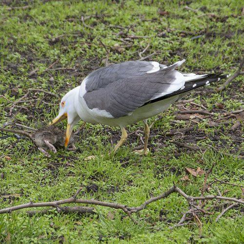 20170303_Camden_Euston-Square-Gardens_Gull-feasting-on-a-rat
