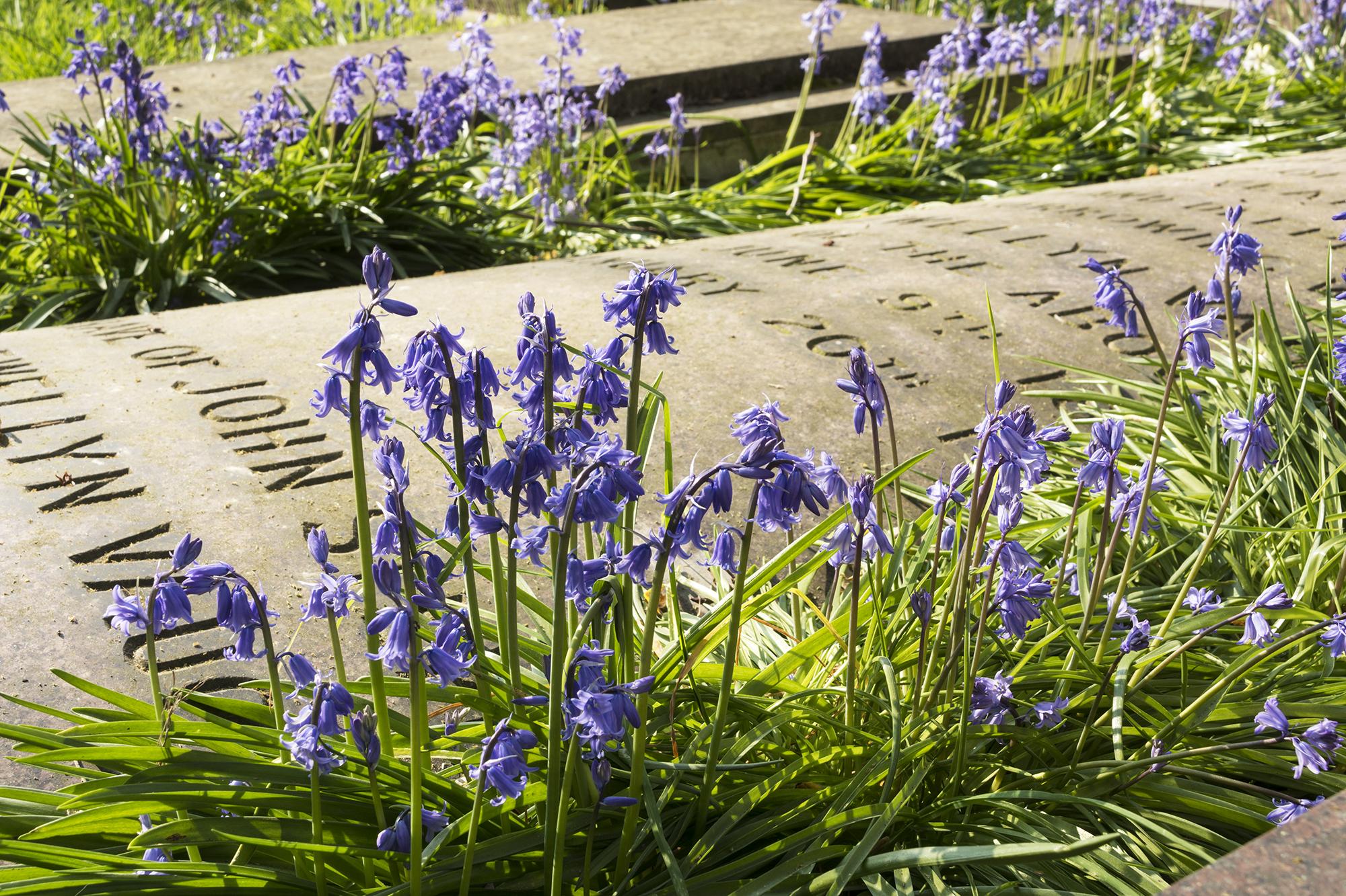 2017-04-08-Brompton-Cemetery-Bluebellw
