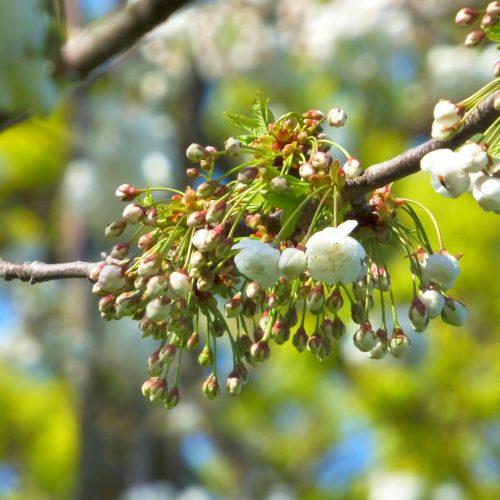 20170403_Newham_Plashet-Park_White-blossom